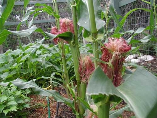 Corn in garden